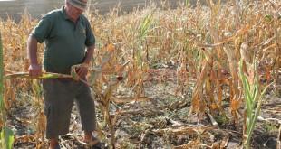 Se anunţă pierderi mari la culturile prăşitoare. Seceta a afectat porumbul în proporţie de 35 la sută