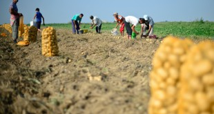Agricultorii calamitați vor fi despăgubiți
