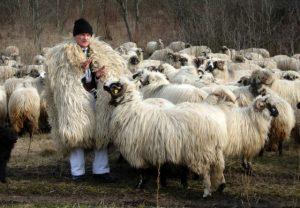 Ştefan Gros spune că întinereşte de-a dreptul atunci când e împreună cu oile sale