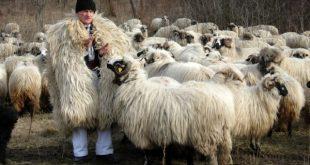 Ştefan Gros spune că nu se simte niciunde mai bine decât în mijlocul turmei sale de oi