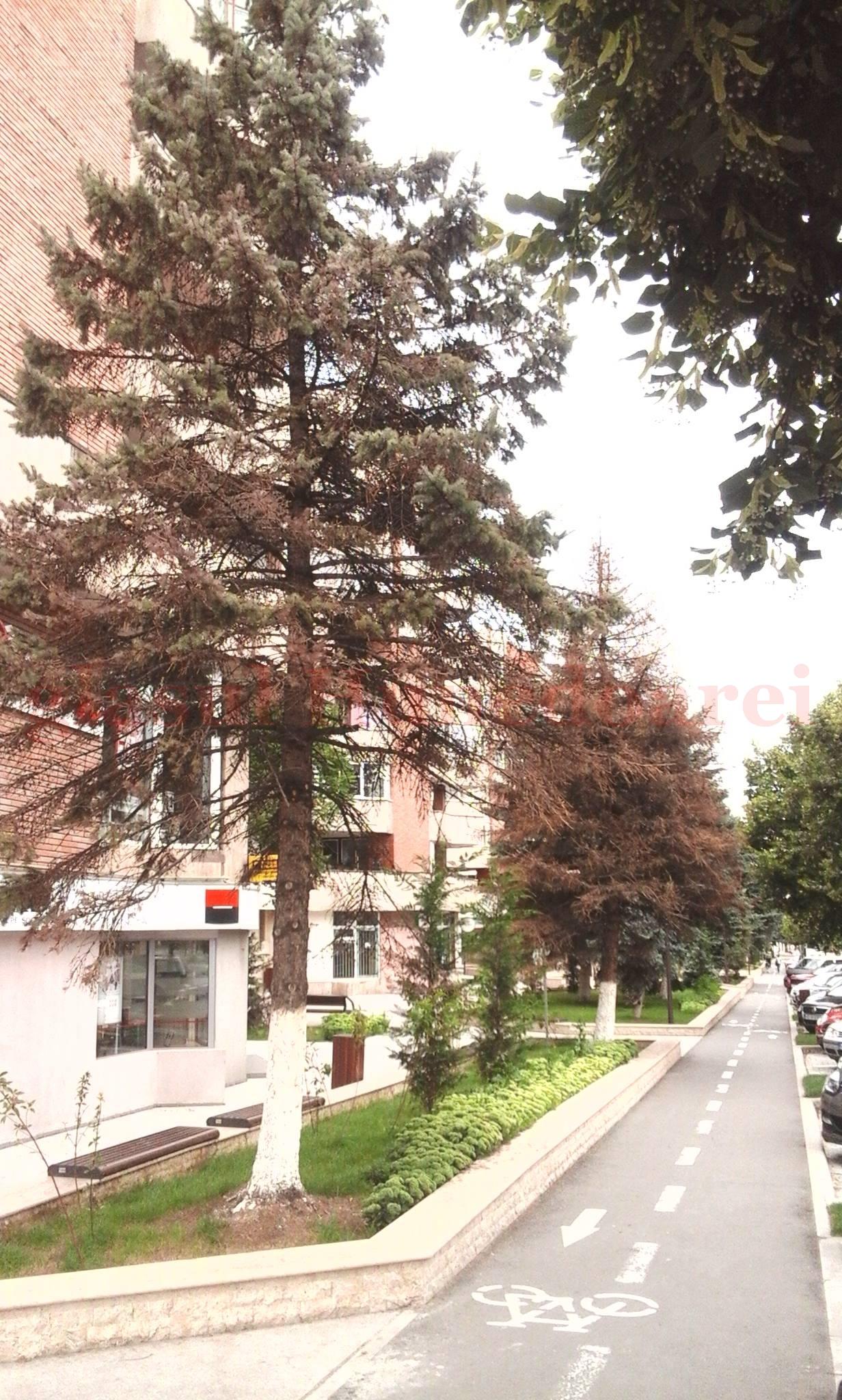Photo of Primăria Deva recunoaște. Brazii s-au uscat din pricina lucrărilor de modernizare a bulevardului Iuliu Maniu