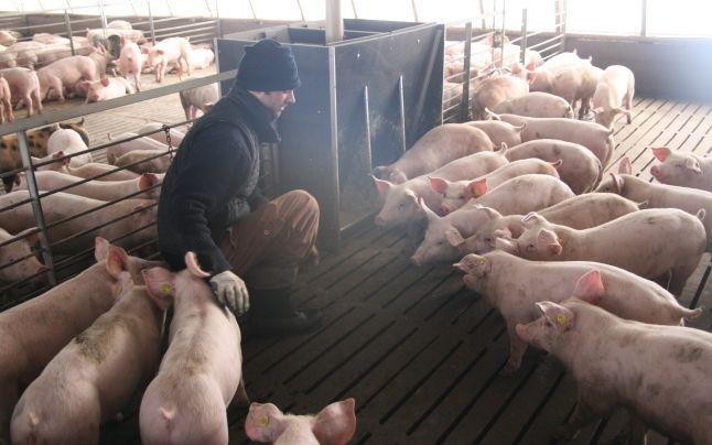 Photo of Comercializarea porcilor în târgurile din județ, interzisă