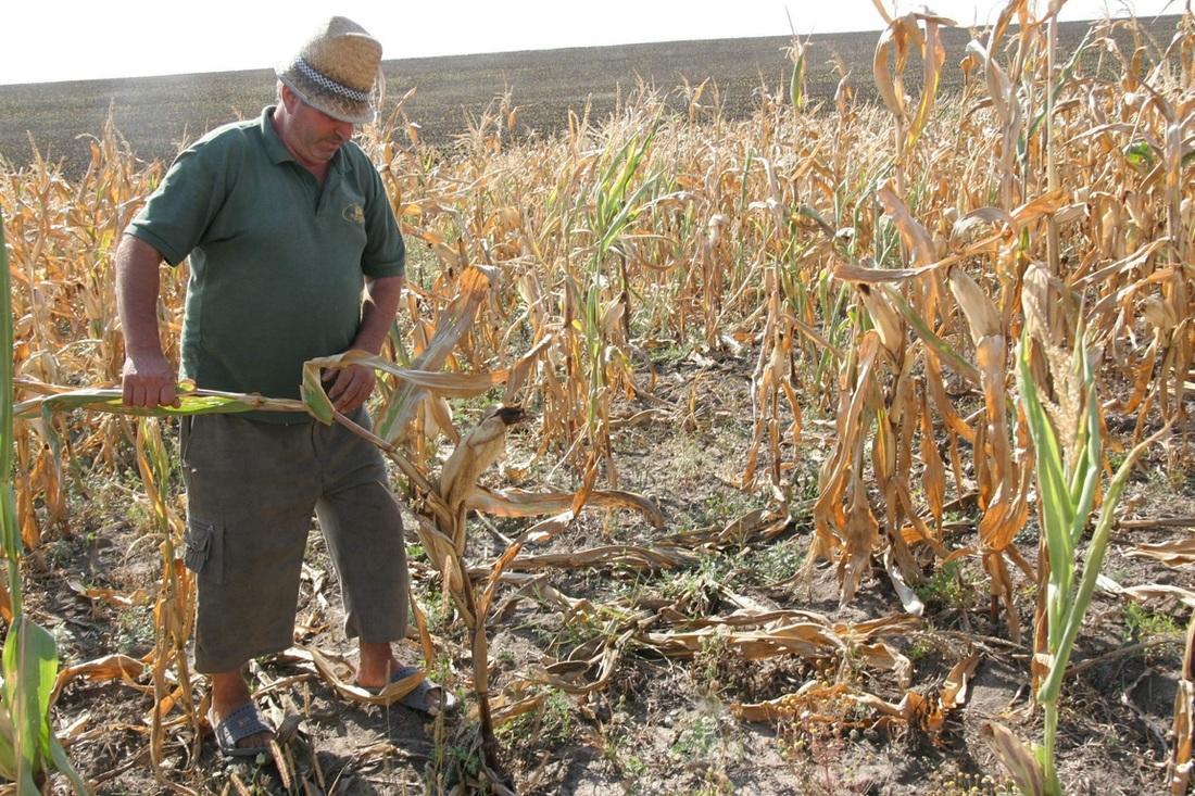 Photo of Seceta face ravagii în agricultura din județ. Culturile de porumb, afectate în proporție de până la 80 la sută