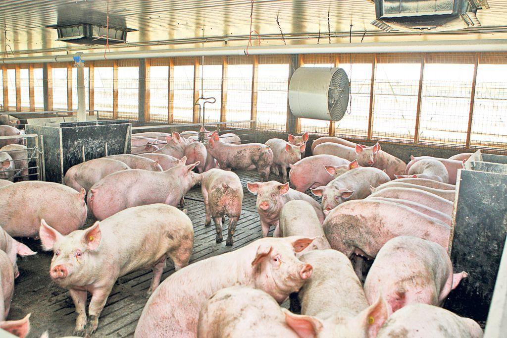 Photo of Pesta porcină africană, motiv de îngrijorare pentru autorități. Au început controalele în târgurile de animale din județ