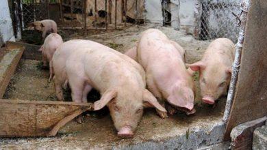 Photo of Pesta porcină nu afectează comercializarea și sacrificarea porcilor de Crăciun