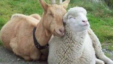 Photo of Crescătorii de ovine și caprine, informați despre pesta micilor rumegătoare