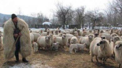 Photo of Crescătorii de oi beneficiază și anul acesta de ajutorul de minimis pentru comercializarea lânii