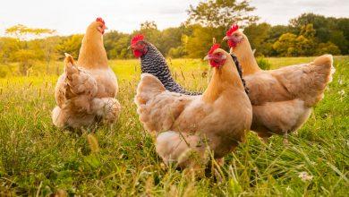 Photo of Carnea de pasăre este a doua cea mai produsă și cumpărată carne din UE