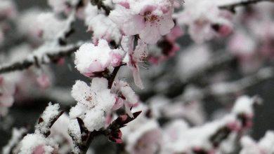 Photo of Petale și zăpadă – fotografia zilei